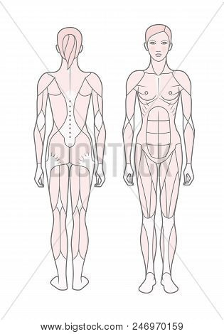 Template. Scheme Of The Musculature Of A Woman. Front And Rear View. Vector. Isolated On White Backg