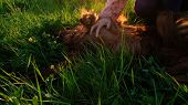 Woman combing her stomach to a dog lying in the grass at sunset, a reflex with a hind paw. poster