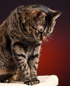 A mackerel tabby cat looking down from post with a red background. poster