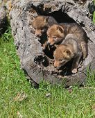 Coyote pups playing in hollowed area of fallen tree. poster