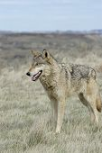 Gray wolf photographed in North Dakota Badlands poster