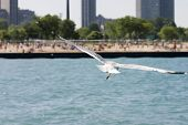 Seagull flying over water with city beach in background poster