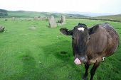 black cow licking nostril in stone circle England poster