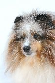 Portrait of a Shetland Sheepdog with blue eyes with the snow falling. poster