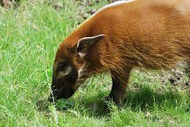 A Red River Hog (potamochoerus Porcus) Grazes In Bright Green Grass In Sunlight.