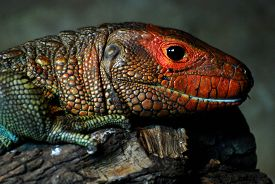 A Predominantly Red Northern Caiman Lizard (dracaena Guianensis) In Close-up.