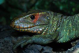 A Predominantly Green Northern Caiman Lizard (dracaena Guianensis) In Close-up.