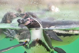 Penguins Swimming In Blue-green Water Behind Glass.
