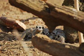 Meerkats (suricata Suricatta) Huddled In Shadow Of Tree Trunk, Glimpsed Through Out-of-focus Branche