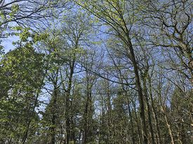 Tall, Thin Trees With Rich Green Leaves Against A Blue Summer Sky. Taken At Delamere Forest Near Fro