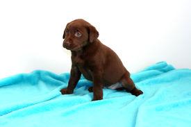 Little Lab Puppy