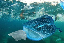 Plastic ocean pollution. Whale Shark filter feeds in polluted ocean, ingesting plastic