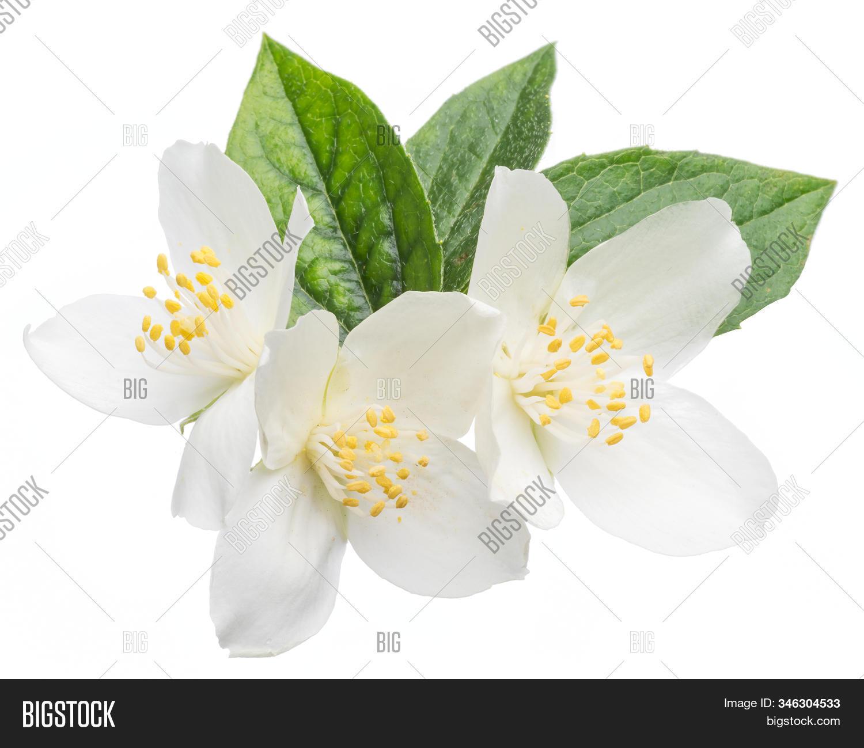 Blooming Jasmine Image Photo Free Trial Bigstock