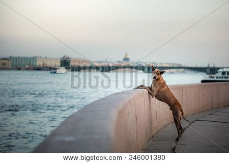 Dog In The City. Pet For A Walk. Thai Ridgeback Put His Paws On The Parapet. Urban Architecture, Emb