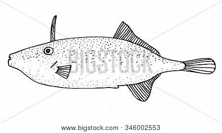 Triggerfish. Black Hand Drawn Realistic Outline Vector Image.