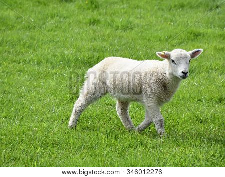 Frolicking Baby Lamb In A Grass Field In The Spring.