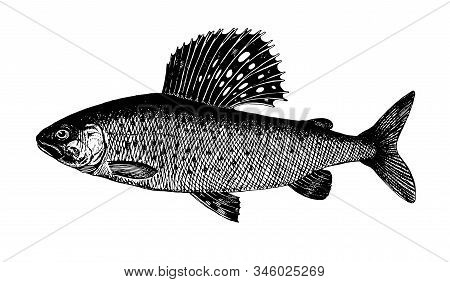 Siberian Grayling, Fish Collection. Healthy Lifestyle, Delicious Food. Hand-drawn Images, Black And