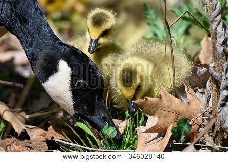 Newborn Goslings Learning Under The Watchful Eye Of Mother