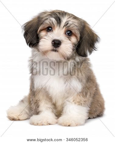 Beautiful Little Havanese Puppy Dog Is Sitting Frontal And Looking At Camera - Isolated On White Bac