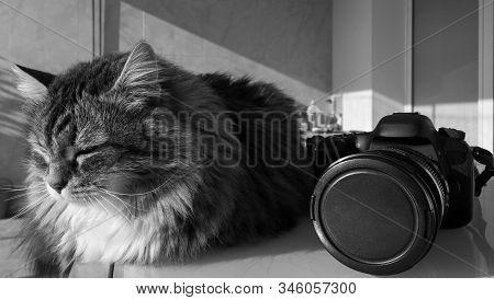 Fur Cat Of Siberian Breed Outdoor, Siberian Purebred Animal