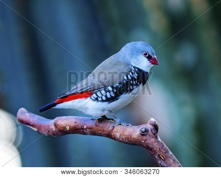 Red Grey Diamond Firetail Finch Plumage Close Up. Native Of Australia, Now All Over The World
