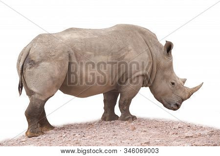 Rhinoceros Isolated On White Background. Close Up View Of A White Rhinoceros Also Called Square-lipp