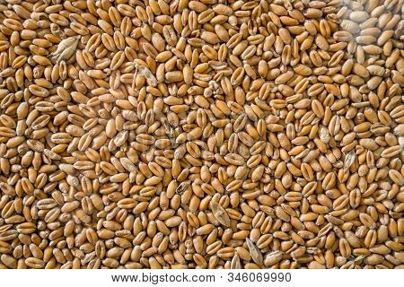 Wheat. Grains Background, Texture Seen From Above. Corn Background. Background From Whole Grains. Gr