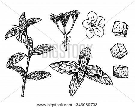 Stevia Vector Drawing. Herbal Sketch Of Sweetener Sugar Substitute. Vintage Engraved Illustration Of