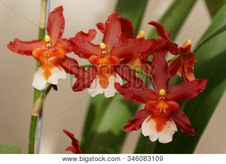 Beautiful Red And White Oncostele Hilo Firecracker 'new Year' Orchids