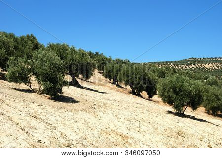 View Of The Olive Groves In The Mountains, Ubeda, Andalucia, Spain