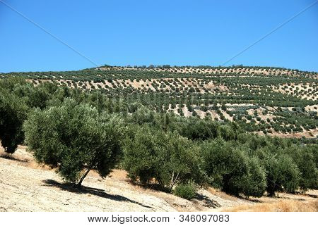 View Of Olive Groves In The Mountains, Ubeda, Andalucia, Spain.