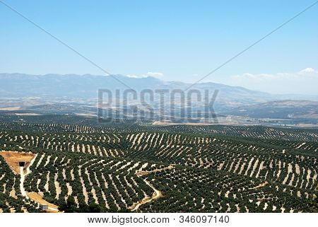 View Of Olive Groves With Mountains To The Rear, Ubeda, Andalucia, Spain.
