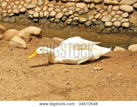 A white duck laying on the ground poster