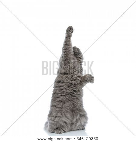 lovely british longhair cat with gray fur standing on hind legs and raising one paw up playful against white studio background