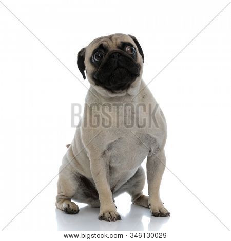 Frightened pug looking to the side and being scared while sitting down on white studio background