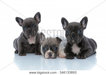 Adorable French bulldog cubs curiously looking forward while laying down and sitting side by side on white studio background
