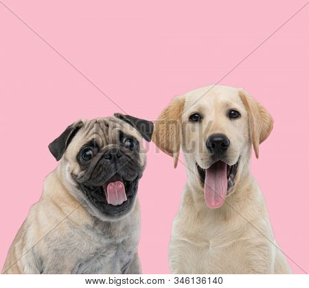 happy team of two dogs, pug and labrador retriever, panting and sticking out tongue on pink background
