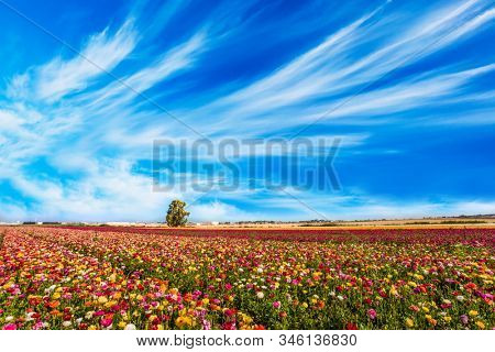 Spring in Israel. Easter week. Kibbutz in the south of Israel. Field of flowering garden buttercups. Concept of active and ecological tourism