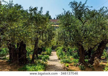 Gethsemane Garden on the Mount of Olives in ancient Jerusalem. Magnificent millennial olives grow on red-orange sandstone. The concept of historical, religious and ethnographic tourism