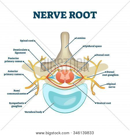 Nerve Root Anatomical Structure Labeled Cross Section, Vector Illustration Educational Diagram. Medi