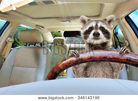 Portrait Of A Funny Raccoon Driving A Car