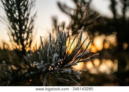 Beautiful Sunset And Frost Pine Needles At Winter, Finland.