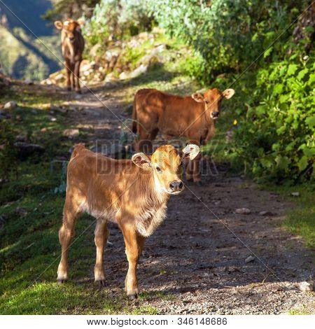 Little Calves On Track. Brown Colored, Mammals, Animals, Cow In Latin Bos Primigenius Taurus