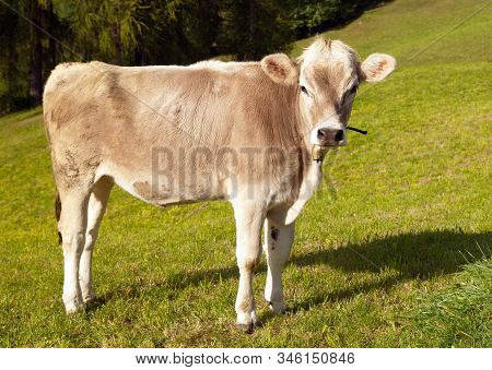 Brown Cow On Meadow (bos Primigenius Taurus), With Cowbell