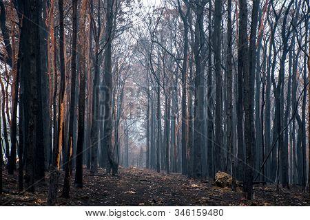 Australian Bushfires Aftermath: Burnt Eucalyptus Trees Damaged By The Fire