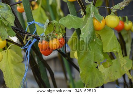 Tomato Tree In The Field On The Natural Background