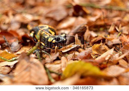 Salamandra Salamandra Reptile In Autumn Colored Forest
