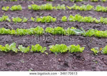 Plants Of Baby Lettuce Growing On Farm In Open Ground, Farming And Gardening. Agrobusiness And Farmi