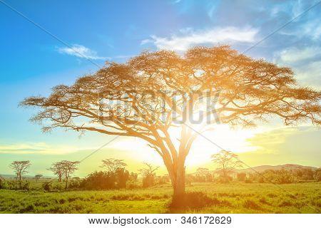 African Acacia Tree At Sunrise In The African Savannah Of The Serengeti Wildlife Area Of Tanzania, E