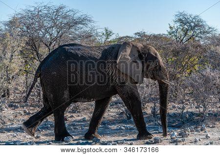 A Giant African Elephant -loxodonta Africana- Walking Pas After Having Taken A Bath In A Waterhole I